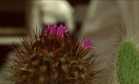 A kaktusz évente egyszer virágzik