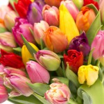 colorful-tulip-close